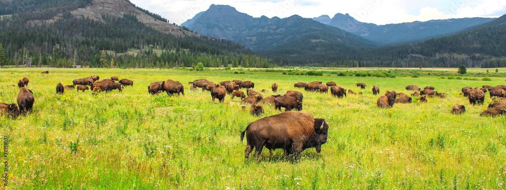 Fotografia Wild bison in Yellowstone National Park, USA
