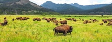 Wild Bison In Yellowstone Nati...