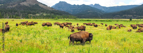 Papel de parede Wild bison in Yellowstone National Park, USA