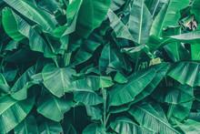 Tropical Banana Tree, Lush Gre...
