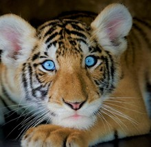 Little Tiger Cub With Light Bl...
