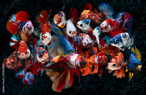 Group of Fancy koi galaxy betta fishes.