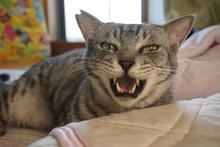 泣いているサバトラ猫