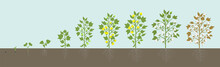 Crop Stages Of Cotton Plant. A...