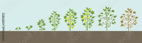 Crop stages of Cotton plant. Agricultural growth. Fertilizer Stage. Harvest Gossypium development animation progression. Vector infographic.