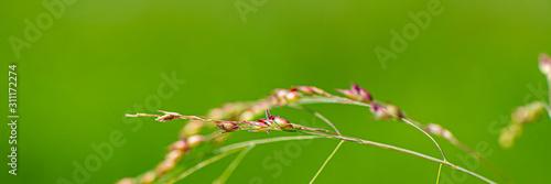 Obraz na plátně spikelets of a plant on a green blurred background.
