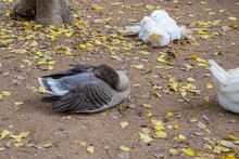 Sleeping Ducks In The Zoo In The Park In Athens Greece