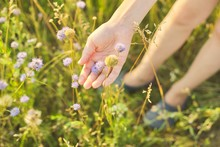 Summer Wild Meadow Grass And Flowers In Girl Hand, Nature