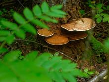 Chaga Mushroom On Birch In Summer, Russia.