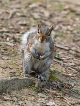 Grey Squirrel ( Sciurus Caroli...