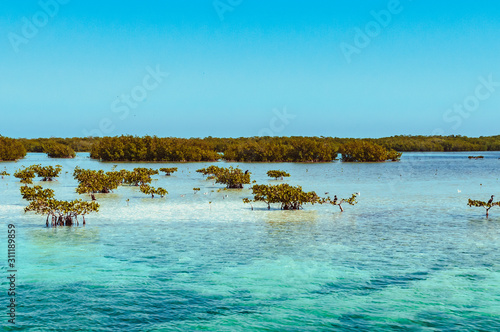 Young mangroves in Cayo Blanco, Cuba Fototapet