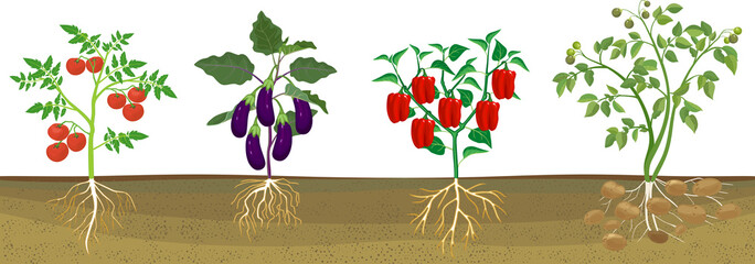 Different vegetable nightshade plants (pepper, tomato, potato and eggplant) with crop. General view of plant with root system