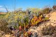 Dünenlandschaft Costa Vicentina, mit blühenden Mittelmeer Strohblumen und Hottentotten Feige, blauer Himmel