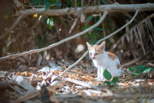 Portrait Of White Kitten With Orange Spot, Close Up Thai Cat, Homeless Cat