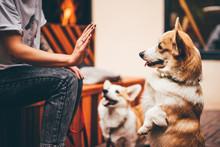 Girl Training A Corgi Dog. Cor...