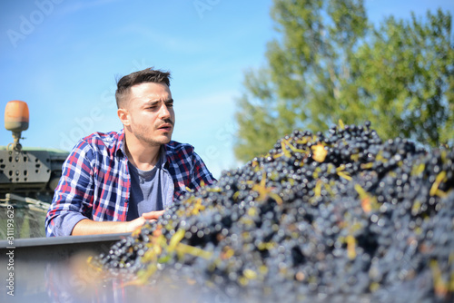 Fotografía handsome man farmer in the vine driving a tractor and harvesting ripe grape duri