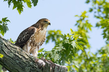 A Close-up On A Red-tailed Hawk Perched In A Tree.