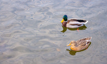 Two Ducks Are Swimming In The Water