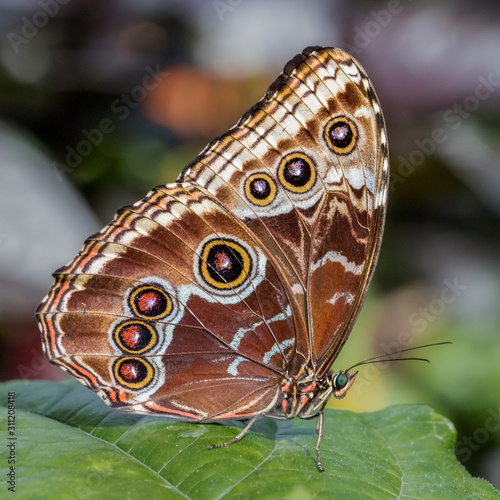 Tablou Canvas Blue morpho butterfly beautiful underwings pattern close up