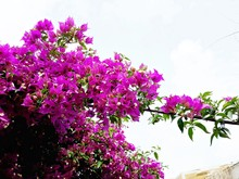 Branches With Pink Flowers Of Bougainvillea Glabra, The Lesser Bougainvillea Or Paper Flowers. It Is An Evergreen, Climbing Shrub With Thorny Stems In The Nyctaginaceae Family.