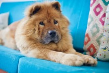 Adorable Sweet Red Chow Chow D...