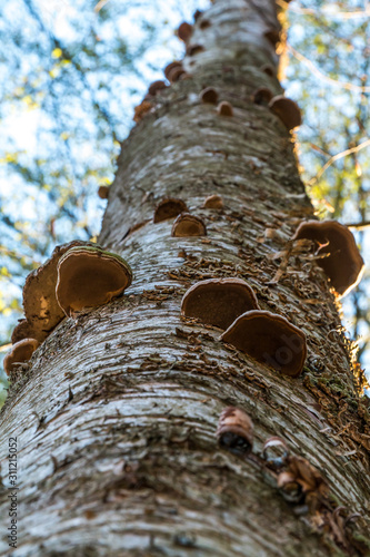 Close up of tree with polypores growing on it Fototapet