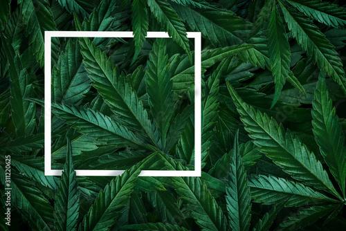 Fototapeta Natural background of cannabis, marijuana leaves and frame