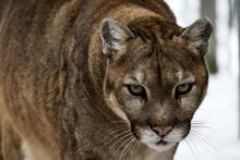 Gros Plan Sur La Tête D'un Cougar, Puma D'Amérique Du Nord, Espèce Très Menacée