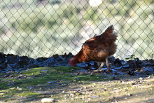 Hens Of Different Breeds In An...