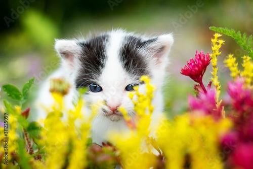 Fototapeta Malutki kotek wącha kwiaty. Zbliżenie obraz