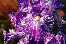 Macro Close Up Of A Purple Bearded Iris With White Stripes