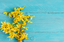 Spring Yellow Forsythia Flowers On Blue Wooden Background. Top View With Copy Space