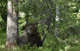 Little bear sits under a pine tree. Cub of Brown Bear in the summer forest. Natural habitat. Scientific name: Ursus arctos.