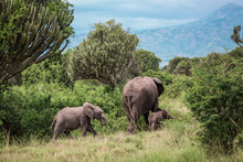 Mother Elephant And Two Childr...