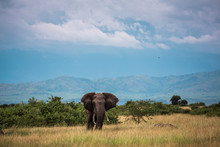 An Elephant Walks On The Afric...