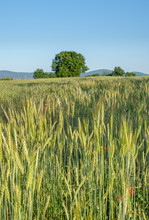 Cereal Field, Barley,  Organic, Natural Growing, With Flowers, - An Unsual, Beautiful Sight In Contrast To Monotony Of The Usually By Chemical Lobe Flowerless Fields