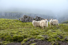 Sheep Graze On The Background Of Majestic Nature, Fog And Icelandic Moss.