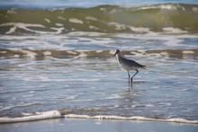 Willet Shorebird In Surf, Case...