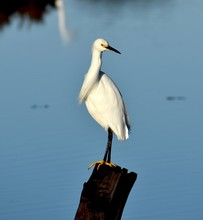 A Snowy Egret (Egretta Thula) Glances Over Its Shoulder, Perched On A Post In Elkhorn Slough