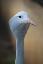 Portrait Of A Blue Crane