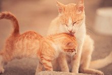 Tender Love Mother Cat And Kit...