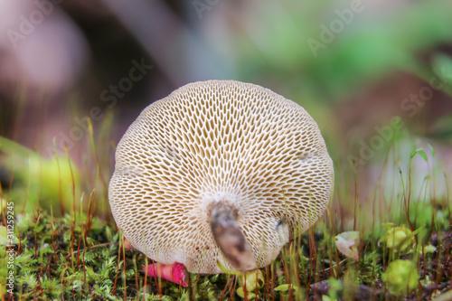 Fototapeta White spring polypore (Lentinus arcularius) on a moss