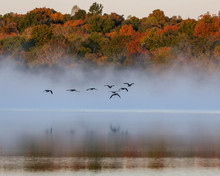 Geese Flying On Foggy Lake