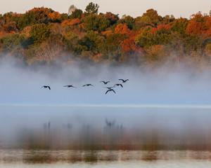 Fototapeta Ptaki Geese flying on foggy lake