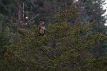 Juvenile Bald Eagle Sits On Branch