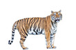 A tiger with a white background