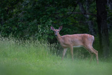 Deer Walking Close By In Tall ...