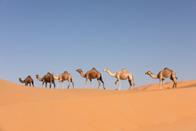 A Group Of Dromedary Camels Cr...