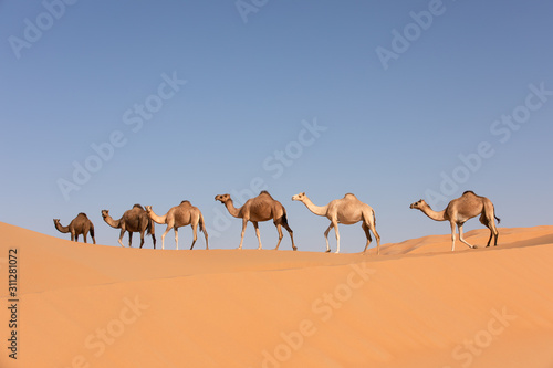Foto A group of dromedary camels crossing a dune in the Empty Quarters desert