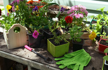 Flowerpots With Sprouts Of Pansy And Petunia Flower, Working Tool And Gloves On Table Outdoor.